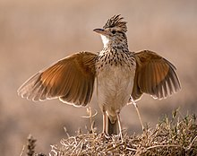Tanzania - Little bird (11122537064), crop.jpg