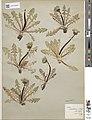 Taraxacum rivulare type specimen 2of2.jpg