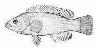 Tautogolabrus adspersus (line art).jpg