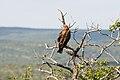 Tawny Eagle 2364816402.jpg