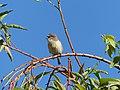 Tec-tec femelle chantant, La Réunion (cropped).jpg