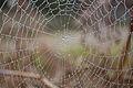 Tela de araña entre gotas (16933036786).jpg