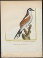Telophorus erythropterus - 1700-1880 - Print - Iconographia Zoologica - Special Collections University of Amsterdam - UBA01 IZ16600499.tif