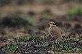 Temminck's courser, Cursorius temminckii, at Pilanesberg National Park, Northwest Province, South Africa. (44060175045).jpg