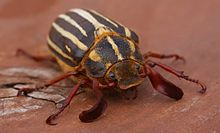 Ten-Line-June-Beetle-2.JPG