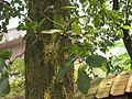 Terminalia bellirica (Bastard myrobalan) leaves in RDA, Bogra 03.jpg
