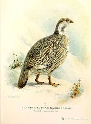 Snowcock - Tetraogallus caucasicus