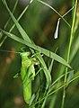 Tettigonia viridissima ecdysis 3.jpg