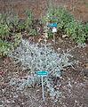 Teucrium fruticans - San Luis Obispo Botanical Garden - DSC06087.JPG