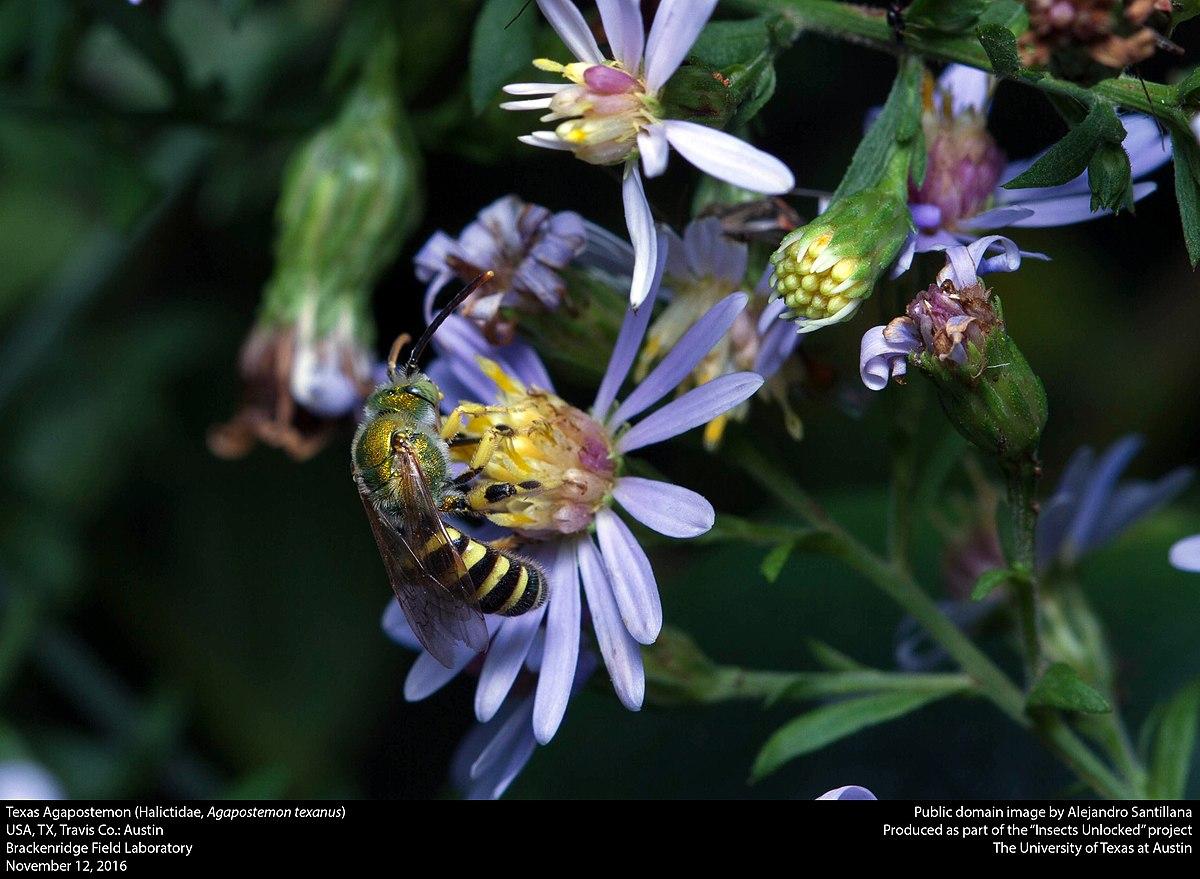 Texas Agapostemon (Halictidae, Agapostemon texanus) (30941172200).jpg
