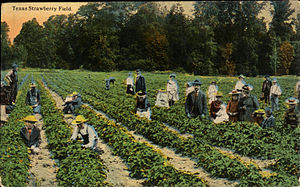 Pasadena, Texas - Texas Strawberry Field (postcard, circa 1908-1910)