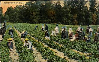 Pasadena, Texas - Texas Strawberry Field (postcard, circa 1908-1910)