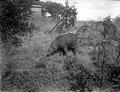 Text, Neg.nr 13723 Bild nr 21725 Kaudern (vildsvin). Madagaskar - SMVK - 021725.tif