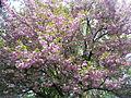 TgMures - flower tree in Tudor near Fortuna - panoramio.jpg