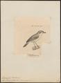Thamnophilus mentalis - 1700-1880 - Print - Iconographia Zoologica - Special Collections University of Amsterdam - UBA01 IZ16400413.tif