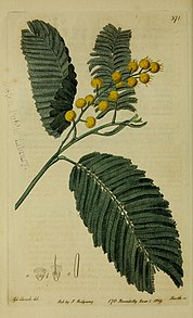 The Botanical register consisting of coloured figures of (1815) (20213930848).jpg