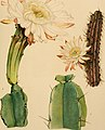 The Cactaceae - descriptions and illustrations of plants of the cactus family (1919) (14782866542).jpg