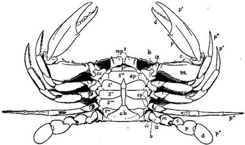 Fiddler crab anatomy