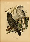 The birds of Celebes and the neighbouring islands (1898) (14732332306).jpg