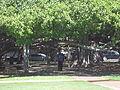 The main root of the Banyan tree at Lahaina, Maui, Hawaii.jpg