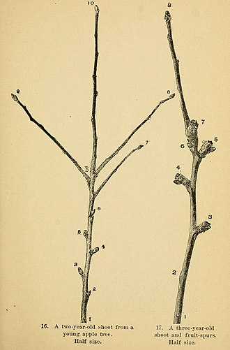 Shoot - Development of fruiting spurs on an apple tree. Left: A two-year-old shoot; Right: A three-year-old shoot with fruit spurs