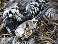 The remains of a Black-Throated Diver I 255618814.jpg