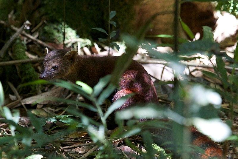 File:The ring-tailed mongoose (Galidia elegans) (15905689361).jpg