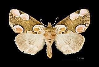 <i>Thyatira</i> (moth) Moth genus in family Drepanidae