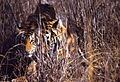 Tigers (Panthera tigris) in the grass (female with young) (19797510646).jpg