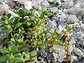 Tillaea aquatica + Centunculus minimus sl4.jpg