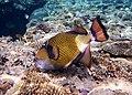 Titan Triggerfisch, Riesen - Drückerfisch..DSCF6708BE.jpg