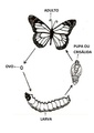 Todas as fases da metamorfose dos insetos serviam como fonte de alimento para os nativos.pdf
