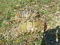Tortoises in Krushevska Reka valley - P1100158.JPG