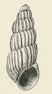 <i>Trabecula</i> (gastropod)