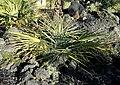 Trachycarpus nanus Plant, Düsseldorf, Germany.jpg