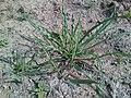 Tragopogon dubius 9.jpg