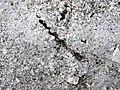 Trails made by variable coquina clams (Donax variabilis) (Cayo Costa Island, Florida, USA) 10 (25982004471).jpg