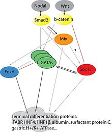 Transcription factor network in endoderm induction..jpg
