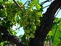 Trebbiano d' Abruzzo grapes before veraison.jpg