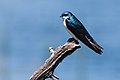 Tree Swallow (7235501832).jpg