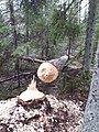 Tree felled by a beaver.jpg