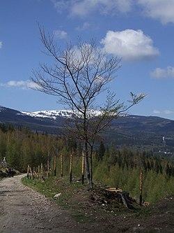 Tree in Riesengebirge.JPG