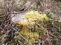 Tree stump with moss (7104277765).jpg