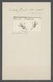 Trichoda cometa - - Print - Iconographia Zoologica - Special Collections University of Amsterdam - UBAINV0274 113 15 0017.tif