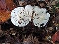 Tricholoma subresplendens 679063.jpg