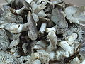 Tricholoma terreum re.jpg