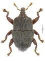 Trigonopterus boolbunensis Riedel, holotype.tif