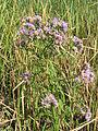Tripolium pannonicum (habitus).jpg
