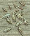 Triticum dicoccum, bruinkafzomeremmer graankorrels (1).jpg