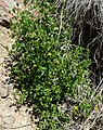 Trixis californica form.jpg